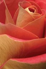 Journal Pretty Unfolding Rose Petals