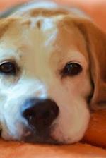 Sleepy Baby Beagle Puppy Dog Portrait Journal