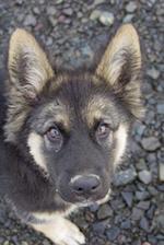 Sweet Shepherd Puppy Dog in the Park Journal