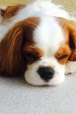 Sweet Snoozing Little Cavalier King Charles Puppy Dog Journal