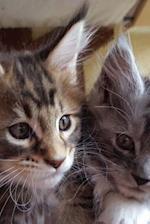 Lovely Little Maine Coon Kittens Portrait Journal