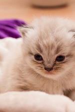 Charming Little Persian Kitten Journal