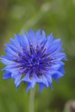 A Royal Blue Cornflower in Bloom Journal