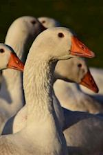 A Flock of White Domesticated Geese Journal