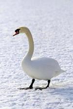 Journal Winter Goose Snow Walk