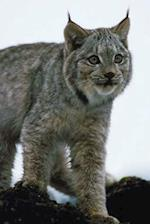 Journal Lynx Prowls in Snow