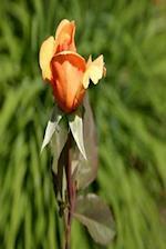 Floral Journal Orange Rose Bud