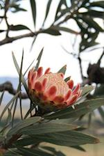 A South African Indigenous Protea Sugarbush Flowering Plant Journal