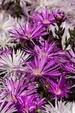 Pretty Purple Pig Face Flowers Carpobrotus Glaucescens Garden Journal