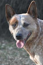 Such an Awesome Australian Cattle Dog Journal
