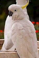 Two White Sulphur Crested Cockatoo Parrots Bird Journal
