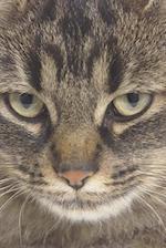 Serious Tiger Cat Photo Journal