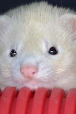 Such a Sweet White Ferret Pet Jounal