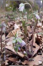 For Mom Hepatica