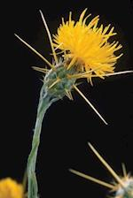Floral Journal Yellow Starthistle Flower