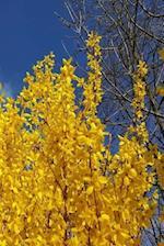 Journal Pretty Forsythia Branches Blue Sky