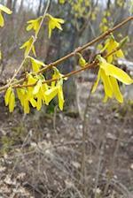 Journal Early Spring Forsythia