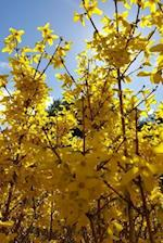 Journal Forsythia Bush Yellow Flowers Blue Sky