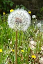 Journal Dandelion Seeds Flower