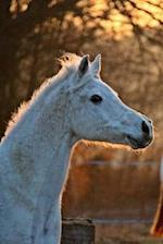 Cool White Horse in the Evening Journal