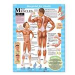 Blueprint for Health Your Muscles Chart (Blueprint for Health)