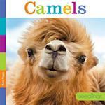 Camels (Seedlings)