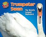 Trumpeter Swan (Even More Supersized)