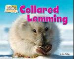 Collared Lemming (Arctic Animals Life Outside the Igloo)
