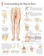 Understanding the Hip and Knee