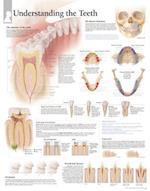 Understanding the Teeth