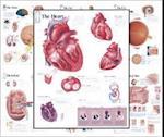 Body Organ Wall Chart Set