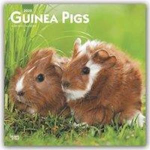Guinea Pigs 2020 Square Wall Calendar