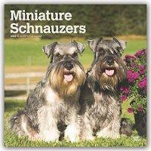 Schnauzers, Miniature Intl 2020 Square Wall Calendar