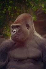 Grand Gorilla Portrait Notebook